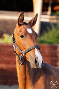 Photo cheval a vendre PHANTASIA DE LA GESSE